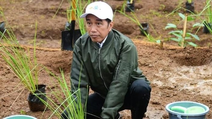 Tentang Vetiver Andalan Presiden Jokowi, Akar Wangi Cengkeram Bumi