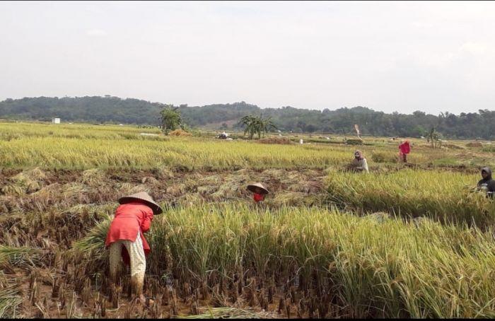 Banyuasin Surplus Beras di Tengah Pandemi Covid-19