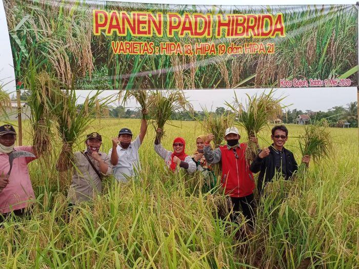 Inovasi Tanam Padi Hibrida, Lampung Hasilkan Panen Lebih Tinggi