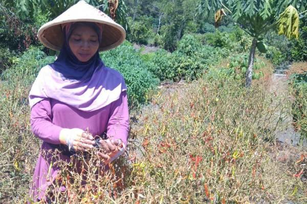 Jogja Tetulung, Cara Membantu Petani Cabai di Tengah Pandemi