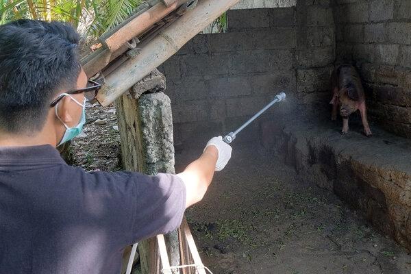 Flu Babi Baru Tidak Ditemukan di Indonesia