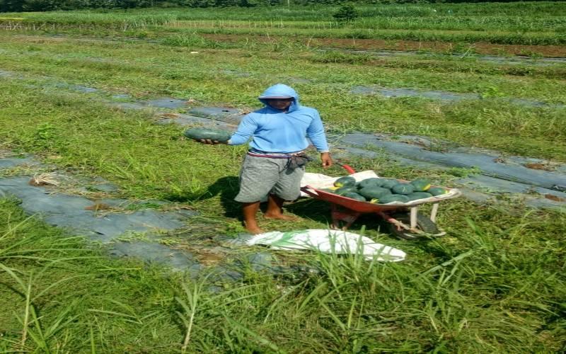 Petani Watusigar Kembangkan Tanaman Hortikiltura